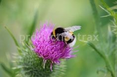 Bumble Bee. Stock photo available for any print, web, or multimedia project at http://www.productiontrax.com