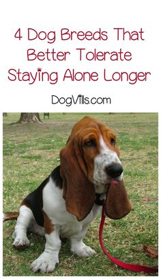 Which dog breeds better tolerate staying alone for longer periods? If you work outside the home, it's important to know before you adopt or start dog training! Best Dog Breeds, Best Dogs, Stay Alone, Old Dogs, Dog Training Tips, New Tricks, Large Dogs, Dog Owners, Dog Love