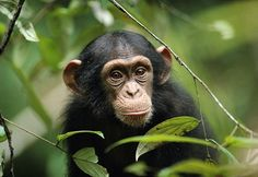 Baby Chimpanzee - animals, ape, baby, chimpanzee, primates
