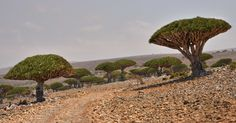 https://flic.kr/p/mzXrwh | Dragon's Blood Trees, Socotra Island | Yemen, Dracaena cinnabari