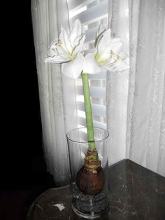 'Matterhorn', white amaryllis with a green center. Bulb was placed on top of small pebbles  in a simple clear vase...no soil or water, bloomed beautifully.