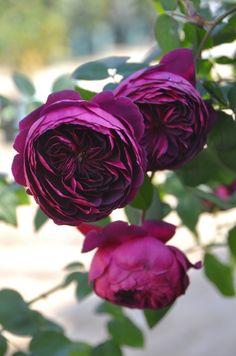 ~Patio Rose: Rosa 'Ertuğrul' (Japan)