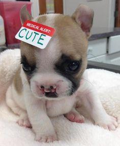 Conheça Lentilha - filhote da raça bulldog francês, que nasceu com uma fenda palatina. ♥ Tão fofo ♥