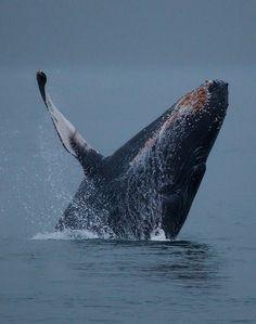 unkysafari: breaching humpback whale, alaska by Joe Dsilva Source: funkysafari Alaska The Last Frontier, Ocean Depth, Undersea World, Save The Whales, Humpback Whale, Sea And Ocean, Underwater World, Ocean Life, Marine Life