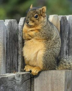 Post with 50 votes and 2073 views. Tagged with funny, cute, squirrel, animals, cute animal; Shared by Squirrel Fatkins! Cute Little Animals, Cute Funny Animals, Cute Squirrel, Squirrels, Squirrel Memes, Giant Squirrel, Baby Squirrel, Lap Dogs, Tier Fotos