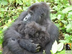 Isaro, a 16-year-old female gorilla gave birth to twins at the Volcanoes National Park in Rwanda.
