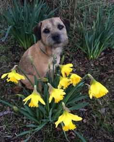 my two favourite things, a border terrier and daffodils! Cute Funny Animals, Funny Animal Pictures, Best Dog Breeds, Best Dogs, Terrier Dogs, Terriers, Cute Boarders, Baby Animals, Animal Babies
