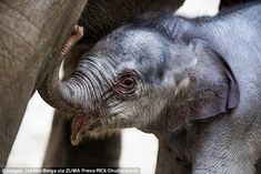 A family of elephants rejoiced after a calf was born on Christmas day, atPlanckendael Zoo in Belgium
