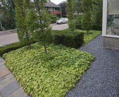 Kleine voortuin - Tiarella cordifolia, zuilbomen, Taxus baccata haag en grind