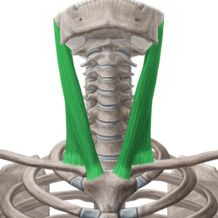 Sternohyoid Muscle