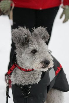 pumi for adoption - Google Search