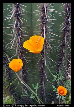 Mexican Poppies (Eschscholzia californica subsp. mexicana) and Cactus. Organ Pipe Cactus  National Monument, Arizona, USA