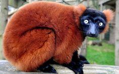 red ruffed lemur - endangered species