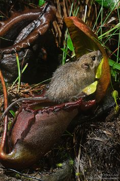 Typically thought of as carnivorous, a recently discovered mutualism exists between the Giant Bornean Pitcher Plant, Nepenthes rajah, and small mammals which feed on nectar produced by the pitchers, in turn depositing nutrient rich scat inside them.