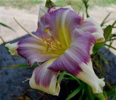 'Butterfly Love' Marietta Gardens... The Daylilies of John, Faye, & Elizabeth Shooter