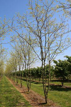 Gleditsia triacanthos 'Skyline' Landscape Plans, Landscape Architecture, Bonsai Garden, Garden Plants, Plant Design, Garden Design, Shade Trees, Tree Shapes, Chelsea Flower Show