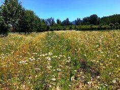 Tenemos unas cuantas fotos de nuestra finca para dejaros así 😱😍 hoy os enseñamos nuestra parcela de manzanilla. Si la foto ya es bonita, imaginaros verlo en persona... ¿A qué estáis esperando para venir de visita y poder sacar vuestras propias fotos? Os estamos esperando😉  #Josenea #DelCampoALaTaza #Manzanilla #Chamomile #Camomile #Flor #Flower #Organic #Infusion #Ecológica #Campo #Field #Finca #Farm #Lumbier #Bordablanca #Visita #Visit #Foto #Photo