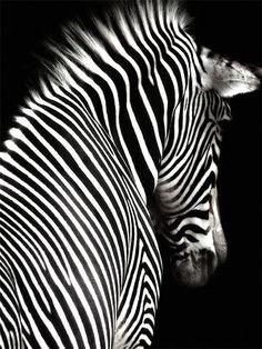 Poster Leinwand, Tiere 25, Zebra Tier Pferd Schwarz Weiß SW Afrika Savanne PJ