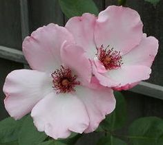 Dainty Bess Rose Bountiful Garden, Rare Roses, Rose Bush, Flowering Trees, Color Of Life, Beautiful Roses, My Favorite Color, Trees To Plant, Garden Plants