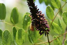 over 15 Seeds Amorpha fruticosa bees di HoneyTreeandBehind su Etsy