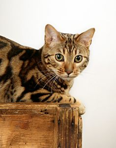 A New Breed of Cat---Leopardette. Extraordinary Markings.