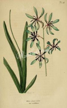 ixia viridiflora      ...