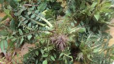 αλιβάρβαρα 004 Green Chef, Pain Relief, Herbalism, Diy And Crafts, School, Garden, Plants, Herbal Medicine, Lawn And Garden