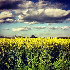 """""""Fields of Gold """" Rapeseed Fields in full spring bloom so beautiful & vibrant to look at but cause so many allergies to hay fever sufferers here in the UK :("""