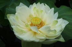 Sketch On Kyoto: White Lotus(亜米利加白蓮)  Kyōto Botanical Garden, Sakyō-ku, Kyōto Fujifilm Finepix X100 京都府立植物園(京都市左京区下鴨半木町)