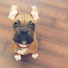 """Exceptional """"boxer puppies"""" info is available on our site. Read more and you will not be sorry you did. Boxer Dogs Facts, Dog Facts, Boxer And Baby, Boxer Love, Training Your Dog, Training Tips, I Love Dogs, Cute Dogs, Awesome Dogs"""