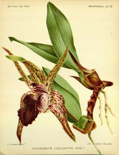 Dendrobium coelogyne from the Dictionnaire iconographique des orchidees, plate 32, by F. Havermans, 1896-1907