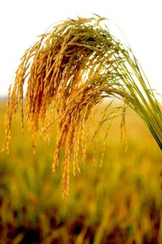 BROWN RICE | brown rice plant brown rice can make the skin smoother and fight ...