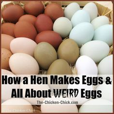 Great page... with lots of info and pics ;)..... How a Hen Makes an Egg  Egg Oddities at The-Chicken-Chick.com