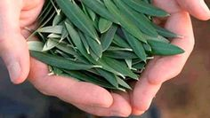 Olive Leaves - This Simple Leaf Prevents Stroke, Hypertension, Diabetes, Alzheimer's And Natural Treatments, Natural Cures, Natural Health, Greek Olives, Herbal Extracts, How To Make Tea, Olive Tree, Medicinal Plants, How To Increase Energy