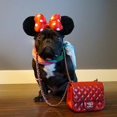 georgesthefrenchie's photo: I don't know what's worse, first day back to work after the holidays or being dressed up as Minnie Mouse... #EvilHoomans #WeBetterGoToDisneyland #INeedARaise