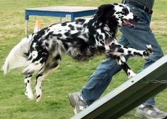 long coat dalmatian Maybe a saluki cross? Unique Dog Breeds, Rare Dog Breeds, Popular Dog Breeds, Big Dogs, Cute Dogs, Awesome Dogs, Beautiful Dogs, Animals Beautiful, White Pug
