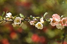 Japanese quince | Flickr - Photo Sharing!
