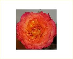 Sunset - Garden Rose - Roses - Flowers by category | Sierra Flower Finder ***Bridal Bouquet***