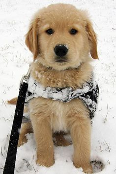 words cannot explain how excited i am to get our new golden! and she will be able to play in the snow <3