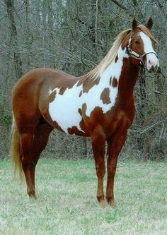 The Paint Horse is a piebald breed of horse that has its origins in the American Quarter Horse. His monochrome offspring were formerly known as Breeding Stock, today as Solid Paint Bred Horse. The American Paint Horse Association was founded in the Most Beautiful Animals, Beautiful Horses, Beautiful Creatures, American Paint Horse, American Quarter Horse, Painted Horses, Cute Horses, Horse Love, Cheval Pie