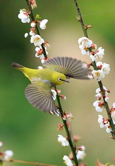 Japanese White Eye (Zosterops japonicus). A native to much of east Asia. Photographer John&Fish has an artistic vision very different from most avian photographers.