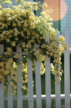 day 122 - yellow roses and fence Lady Banks Rose- pale yellow, thornless, drought tolerant (for a rose), sun or partial shade. Beautiful Roses, Beautiful Gardens, Yellow Climbing Rose, Lady Banks Rose, Yellow Cottage, Living Fence, Garden Cottage, Cozy Cottage, Shabby Cottage