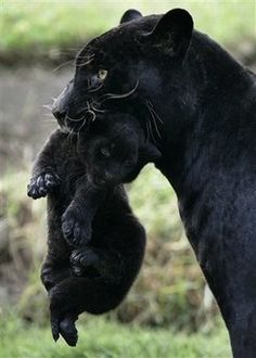 Baby black panther - no matter what folks say, this still looks like it hurts.