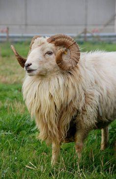 Skudde Sheep (Germany) Farm Animals, Cute Animals, Primitive Sheep, Sheep Breeds, Sheep Farm, Rust Color, Beautiful Creatures, Pet Portraits, Mammals