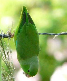 Green-rumped Parrotlet. For good food, I'd probably hang upside down too.