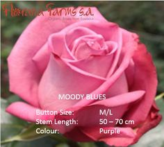 Cheer up your Friday with Moody. Check out: www. Organic Roses, Cheer Up, Friday, Purple, Check, Color, Colour, Viola, Colors