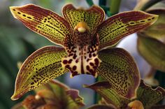 Orchid obsession: Blooms, experts prepare for 60th Pacific Orchid Exposition in San Francisco.