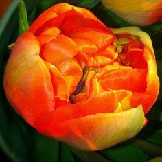 Tulip in the sun.