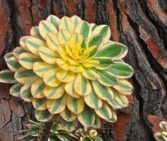 Aeonium 'Sunburst' Against Trunk of Euphorbia ingens by plantmanbuckner, via Flickr