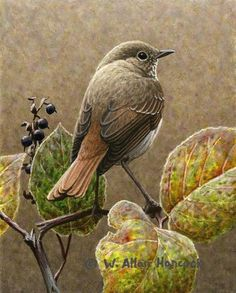 Hermit Thrush 1 - bird painting by W. Allan Hancock